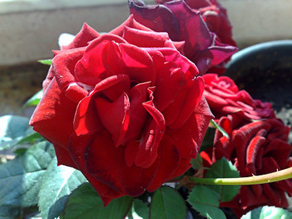 rose-taken-with-nokia-n82.jpg